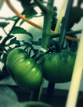 トマト 家庭菜園 コンテナ