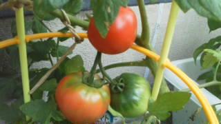 家庭菜園 トマト 野菜