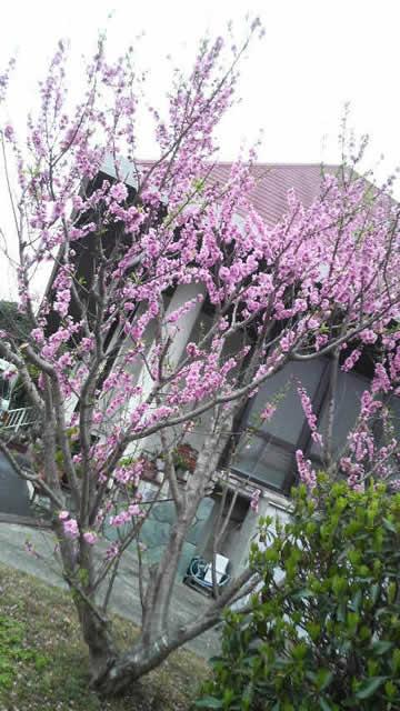 南紀白浜 桜 ナギサビール